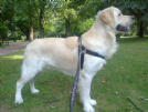 Accoppiamento golden retriver disponibile per accoppiamento