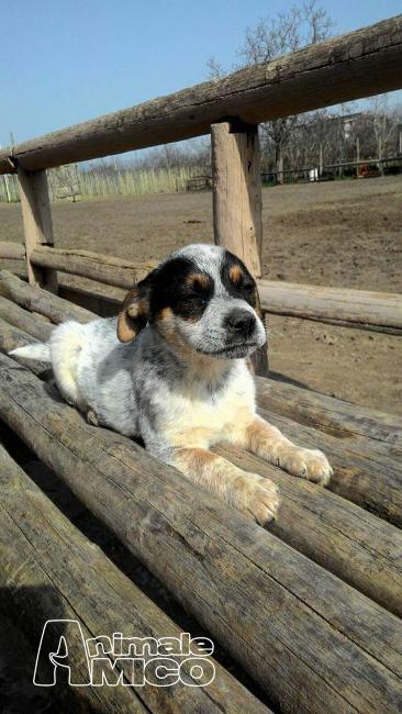 Regalo cucciolo australian cattle dog da privato a milano for Cerco divano in regalo milano