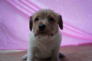 piccoli jack russell