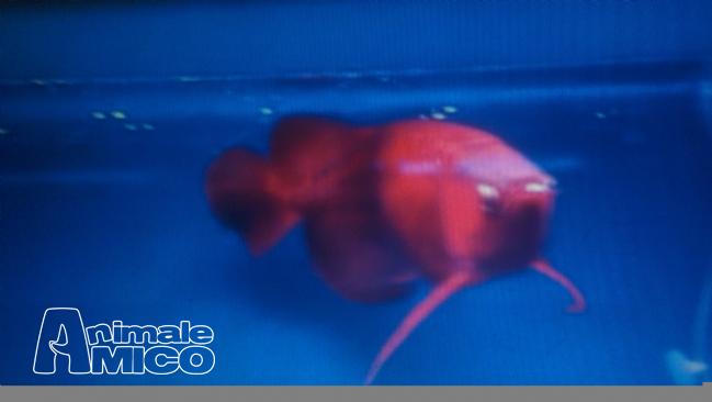 Chilli red arowana for sale in bangalore dating 3