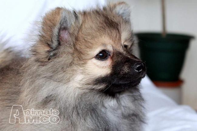 Vendita cucciolo spitz tedesco nano da privato a vercelli - Spitz toy prezzo ...
