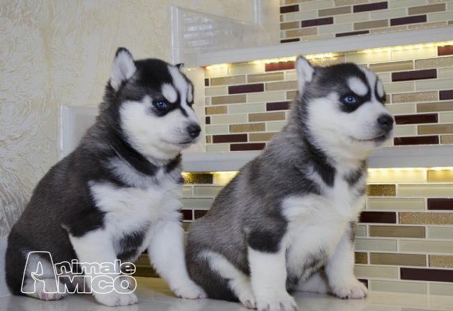 Vendita cucciolo husky da privato a napoli cani husky in vendita siberian husky del 14 03 2016 - Husky occhi diversi ...