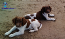 cuccioli di english springer spaniel con pedigree
