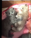 cuccioli di british e scottish fold
