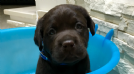 cuccioli di labrador retrievers chocolate