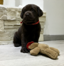 Vendita cuccioli di labrador retrievers chocolate