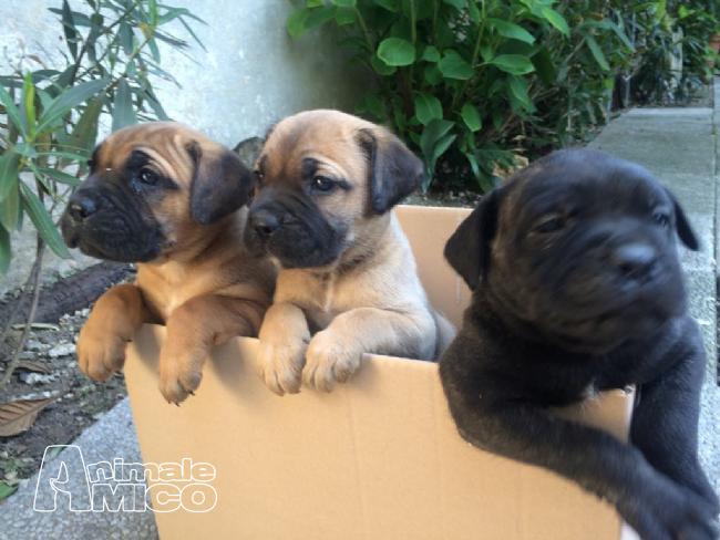 Aereo Privato Cani : Vendita cucciolo cane corso da privato a cremona cani