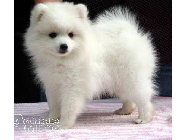 Vendita volpino pomerania da privato a cosenza cani for Volpino pomerania nano