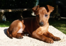 pinscher nano con pedigree
