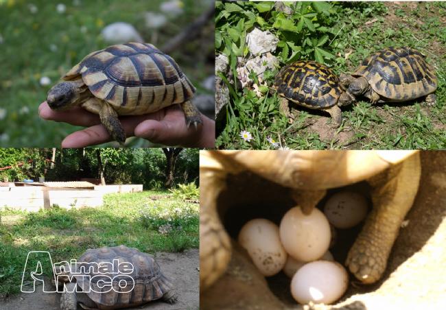 Vendita testudo hermanni da privato a milano rettili for Casette per tartarughe