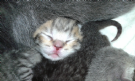 Vendita british e scottish fold