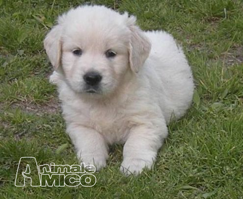 Regalo cuccioli di golden retriever