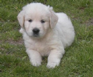 cuccioli di golden retriever color miele e bianco