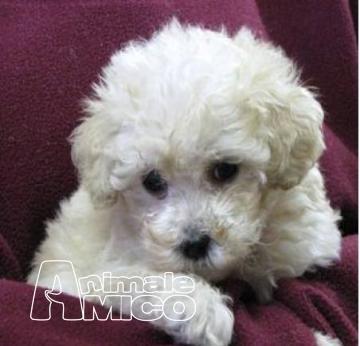Vendita cucciolo barboncino da allevatore a ferrara cani - Barboncino piccolo ...