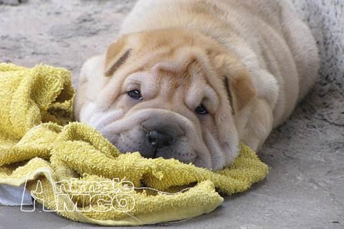 Vendita cucciolo Shar pei da Allevatore a Reggio Emilia, cani Shar ...