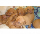 disponibili cuccioli dogue de bordeaux