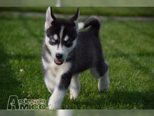 Vendita cucciolo husky da privato a milano cani husky in - Cane occhi azzurri ...