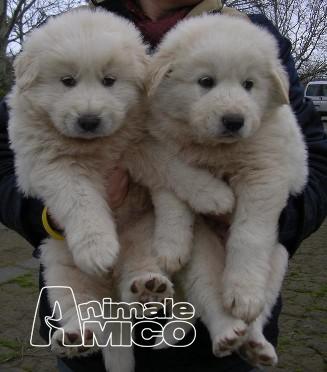 Cuccioli di razza in regalo veneto