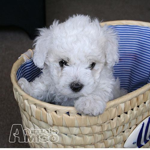 Vendita cucciolo bichon da allevatore a parma cani bichon - Barboncino piccolo ...