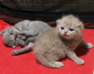 Vendita cuccioli british shorthair disponibili