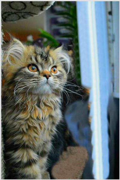 Vendita Cucciolo Persiano Da Privato A Cosenza Cucciola Di Gatto
