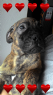 cuccioli bullmastiff pedigree