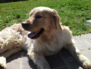 Accoppiamento golden retriever da privato