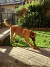 Schnauzer gigante cuccioli in regalo