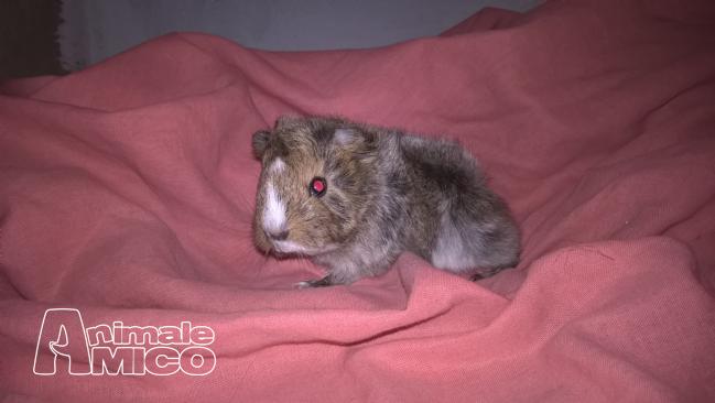Vendita cucciolo da privato a rm roditori e lagomorfiin for Cavia peruviana pelo lungo