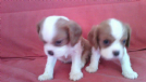 cavalier king femmina, 3 mesi