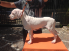 cuccioli dogo argentino - disponibilita' immediata