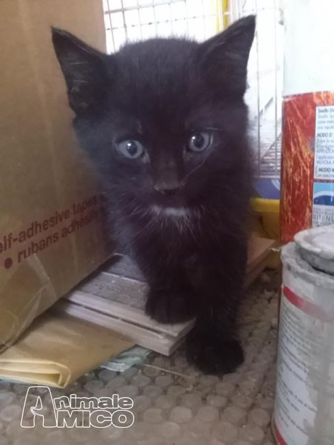 Ragdoll gatto regalo