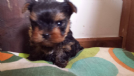 cuccioli di yorkshire terrier toy