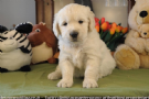 cuccioli di golden retriever con pedigree