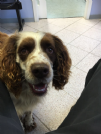 Accoppiamento springer spaniel con pedigree da privato