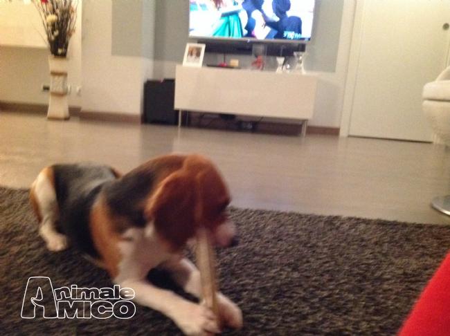 Offro in regalo beagle da privato a lodi cerco for Cerco sedie in regalo