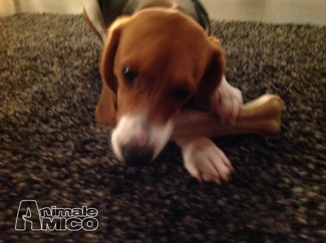 Regalo beagle da privato a lodi cani beagle in regalo for Cerco televisore in regalo
