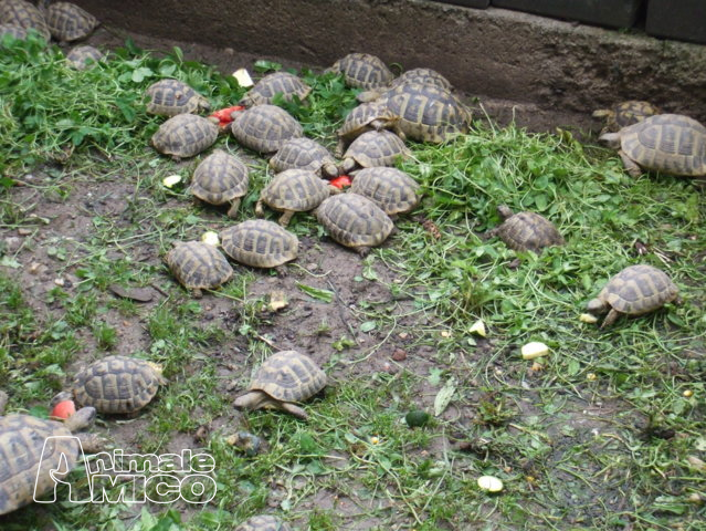 Vendita testudo hermanni da privato a milano testudo for Prezzo tartarughe