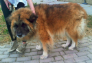 bianca mix chow chow bellissima