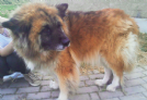 Offro in adozione bianca mix chow chow bellissima