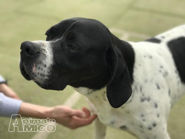 Regalo pointer da associazione animali a milano cani for Cerco camera da letto in regalo milano