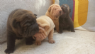 disponibili cuccioli di sharpei