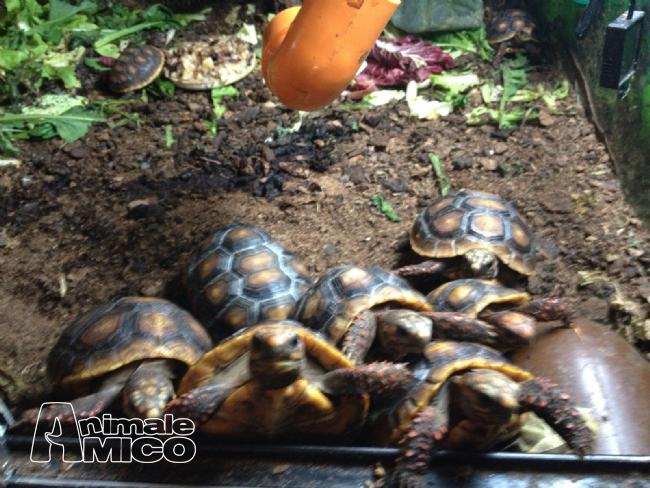 Vendita cucciolo da privato a pg tartarughe carbonarie for Cerco acquario per tartarughe