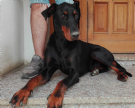 Accoppiamento dobermann con pedigree da privato