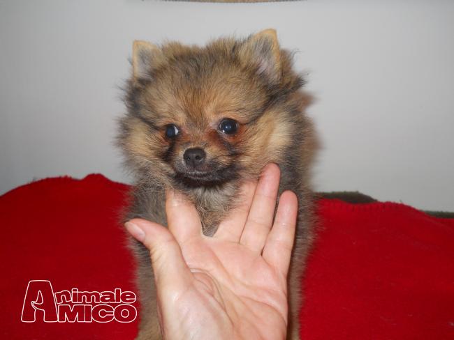 Vendita cucciolo volpino di pomerania volpino pomerania