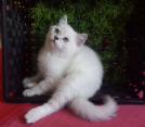 splendidi british shorthair