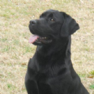 labrador retriever nero con pedigree per accoppiamento