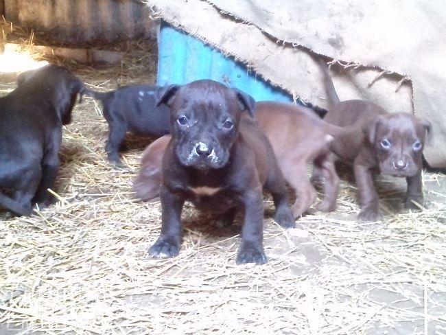 Vendita Cucciolo Pitbull Da Privato A Napoli Pit Bull Ukc Xxl 04032013