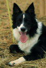 border collie prestigiosa cucciolata