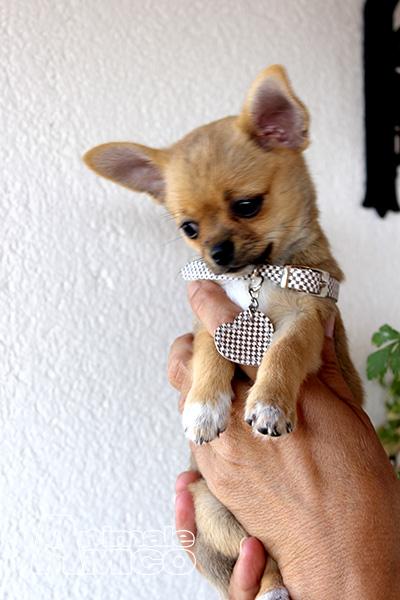 Vendita cucciolo chihuahua da privato a palermo cani for Cani giocherelloni